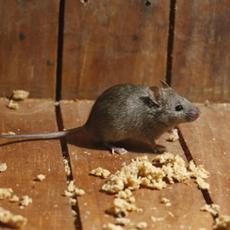 Rat-&-Mice-Control